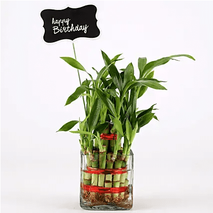 buy bamboo tree with pot for birthday gift