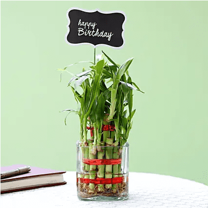 two layer lucky bamboo for birthday gift